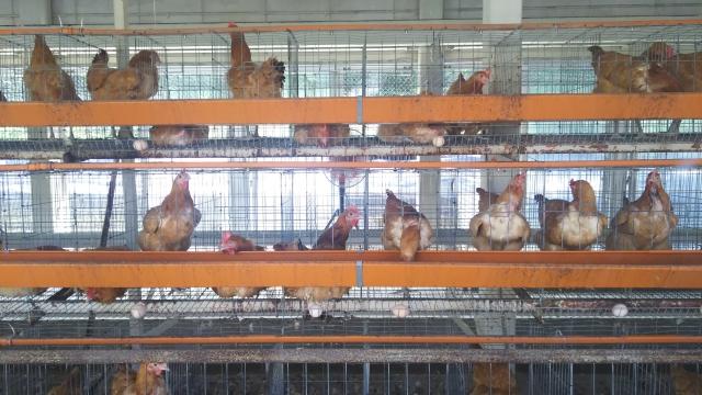 鶏マイコプラズマ症 が農場に入り込む前の水際対策としてMGMS衛生検査